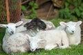 Spring lambs Royalty Free Stock Photo