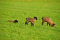 Spring lambs new on the in green pastures on a sheep ranch in oregon Royalty Free Stock Photos