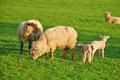Spring lambs new on the in green pastures on a sheep ranch in oregon Stock Images