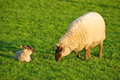 Spring lambs new on the in green pastures on a sheep ranch in oregon Stock Image