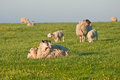 Spring lams and sheep in rural landscape Stock Photography