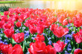 Spring landscape with beautiful red tulips Royalty Free Stock Photo