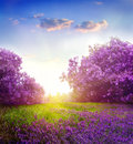 Spring landscape with lilac trees Royalty Free Stock Photos