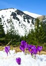 Spring landscape of mountains with of fir forest and blooming flowers violet crocuses crocus heuffelianus in snow on glade. Royalty Free Stock Photo