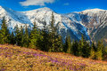 Spring landscape in the mountains and purple crocuses,Fagaras,Carpathians,Romania Royalty Free Stock Photo