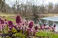 Spring landscape near the pond blooming butterbur Stock Photography