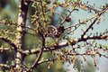 Spring landscape in the park / Larch branches with young green needles / Royalty Free Stock Photo