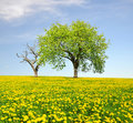 Spring landscape with trees on dandelions field Stock Photography