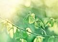 Spring leaf illuminated with sun rays - new life Royalty Free Stock Photo