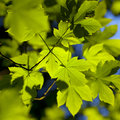 Spring leaves background maple branch with green Royalty Free Stock Photo