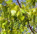 In spring leaves of  birch Royalty Free Stock Photo