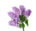 Spring lilac  branches with leaves isolated on white background Royalty Free Stock Photo