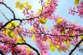 Spring lilacs flowers blooming pink against blue sky Royalty Free Stock Photo