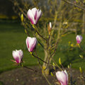Spring in London. Magnolia `Leonard Messel`, Pink flower and bud opening on tree Royalty Free Stock Photo