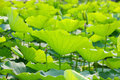 Spring lotus leaves Stock Photo