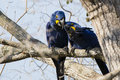 Spring Love: Hyacinth Macaw Pair Buddies Royalty Free Stock Photo