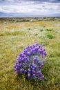 Spring lupine Royalty Free Stock Image