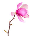 Spring magnolia blossoms Royalty Free Stock Photo