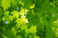 Spring maple leaves background Royalty Free Stock Photo