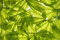 Spring maple leaves Royalty Free Stock Photo