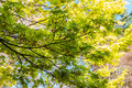 Spring maple leaves at the Hirosaki Castle Park Royalty Free Stock Photo