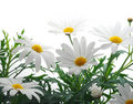 Spring marguerite Stock Photo