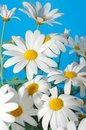 Spring marguerite Royalty Free Stock Photography
