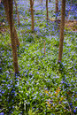 Spring meadow with blue flowers glory of the snow forest floor blooming in abundance ontario canada Stock Photo