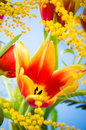 Spring mimosa and tulips bouquet with a Stock Photos
