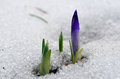 Spring mountain meadow crocus burgeons grow melting snow Royalty Free Stock Photo