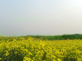 Spring Mustard field Royalty Free Stock Photos