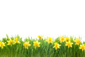 Spring narcissus flowers in green grass isolated on white background Royalty Free Stock Photography