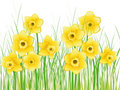 Spring narcissus illustration Royalty Free Stock Image
