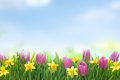 Spring narcissus and tulips flowers in green grass on blue sky background Royalty Free Stock Image
