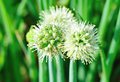 Spring onion flower at field Royalty Free Stock Photo