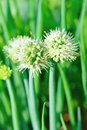 Spring onion flower at field Stock Photos