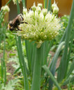 Spring onions flower and bee Royalty Free Stock Images