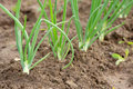 Spring onions in vegetable garden Stock Images