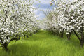 Spring orchard Royalty Free Stock Photography