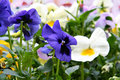 Spring pansies Stock Image