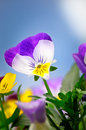 Spring pansies purple and yellow against a sunny blue sky with clouds Royalty Free Stock Photo