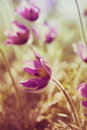 Spring Pasque Flowers Royalty Free Stock Image