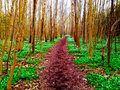 Spring path through the forest white and green carpet of anemones Royalty Free Stock Image