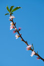 Spring peach blossom with blue sky Stock Image