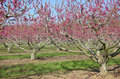 Spring Peach Trees Royalty Free Stock Photos
