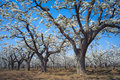 Spring pear orchard Royalty Free Stock Images