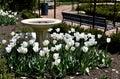 White Cubed Tulip Garden Royalty Free Stock Photo