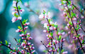 Spring pink blooming tree flowers in season of nature beauty Royalty Free Stock Photography