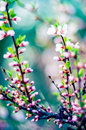 Spring pink blooming Royalty Free Stock Photo