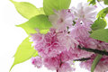 Spring pink blossom border or background with flowers Royalty Free Stock Photography